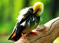 顶级白玉鸟梳理羽毛图片