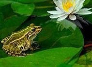 荷塘青蛙图片夏意盎然