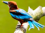 奇特鸟类荆棘鸟的图片