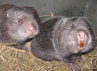 吃竹子的动物竹鼠养殖场图片