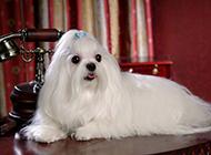 纯种马尔济斯犬白色狗狗图片高清特写