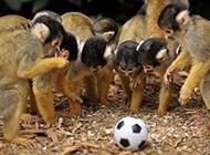 一群对足球充满好奇的猴子