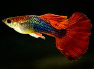 纯种的凤尾鱼图片小巧玲珑