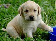 纯种拉布拉多犬幼犬超萌图片