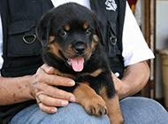 罗威纳犬幼犬顽皮撒娇图片