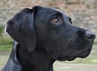 纯种的杜宾犬头部特写图片
