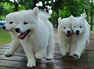 二个月小萨摩耶犬快乐戏耍写真图片