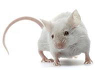 尾巴细长的小白鼠图片