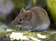 小型鼠类田鼠图片大全