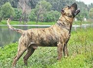 强悍加纳利犬图片凶猛霸气