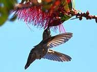 蜂鸟正在寻觅食物的瞬间图片