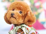 观赏性极强的纯种小型泰迪犬图片
