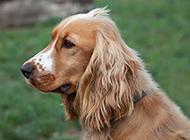 纯种英国可卡犬毛发柔顺图片