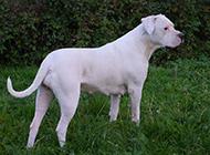 纯白毛色阿根廷杜高犬图片