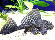 鱼缸里的小型清道夫鱼图片