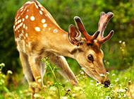 最美的梅花鹿图片作品欣赏
