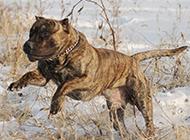 强悍加纳利犬雪地奔跑图片