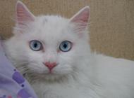 可爱宠物蓝眼白猫图片