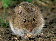 田鼠偷吃食物图片大全
