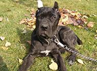 意大利卡斯罗犬幼犬草地上晒太阳
