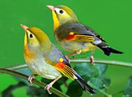 羽毛鲜艳的相思鸟图片
