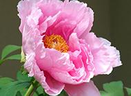 姹紫嫣红的春天牡丹花图片