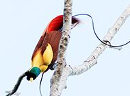 羽色华美的鸟类天堂鸟图片