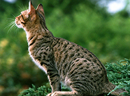 亚洲豹猫侧面特写图片