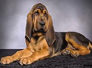 纯种寻血猎犬慵懒宠物写真图片