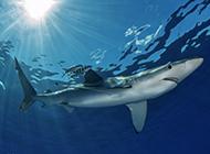 大鲨鱼图片壁纸高清精美