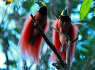 树枝上的两只极乐鸟图片高清