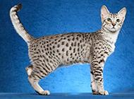 埃及猫文静可爱图片