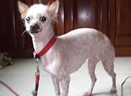 中国冠毛犬性格温顺图片