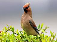 世界野生鸟类太平鸟图片特写