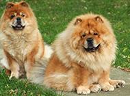 公园玩耍的成年松狮犬图片
