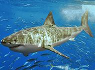 海底大鲨鱼图片壁纸