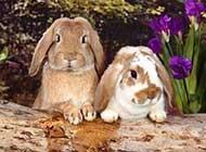 可爱毛绒绒的兔子写真合集