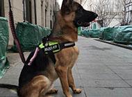 纯种优良血统德国黑背犬图片