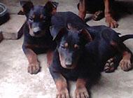 三个月的可爱苏联红犬图片