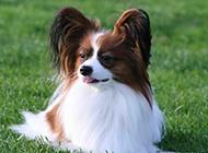 草地上的垂耳蝴蝶犬图片