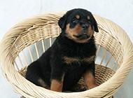 罗威纳犬呆萌幼犬可爱图片