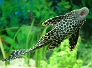 杂食性鱼类清道夫鱼的图片