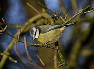 野生翠鸟图片可爱动物微距特写壁纸