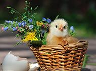 呆萌可爱的小鸡图片壁纸