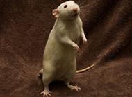 搞怪机灵的小白鼠图片