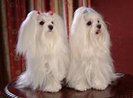 可爱温顺的迷你马尔济斯犬图片