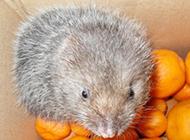 稀少的动物小竹鼠图片大全