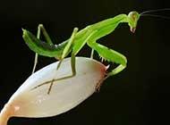 绿色昆虫螳螂近焦距特写高清壁纸