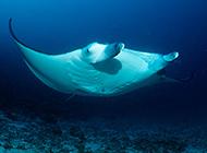 身子扁平的海鳐鱼图片