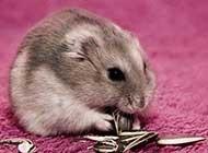 可爱的仓鼠高清图片大放送